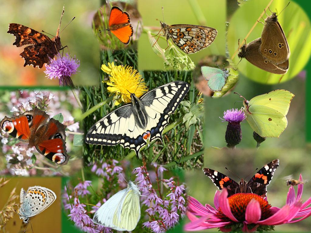 kollaasi-perhoset