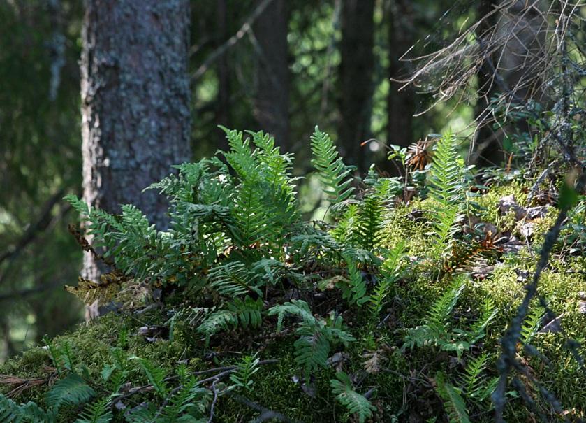 kallioimarteet metsässä